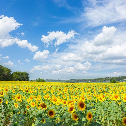 plakat Field of sunflowers