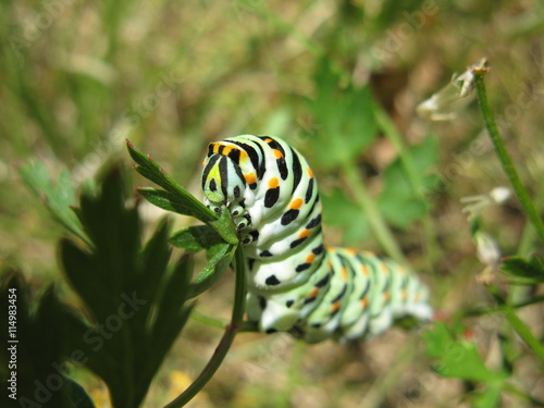 Chenille Caterpillar Papillon chenille de papillon - machaon - buy this stock photo and explore