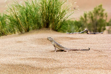 Lizard In The Desert