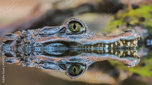 La pose en embrasure Crocodile Close-up view of a Spectacled Caiman (Caiman crocodilus)