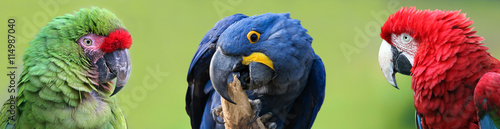 Foto op Canvas Papegaai Colorful group of Macaws