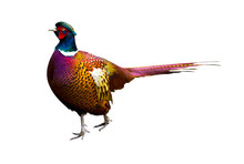Pheasant. Side View Of A Color...