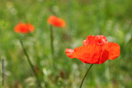 Beautiful poppy flowers on green grass background buy this stock beautiful poppy flowers on green grass background mightylinksfo