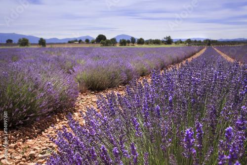 Tuinposter Lavendel Champ de Lavande Provence France