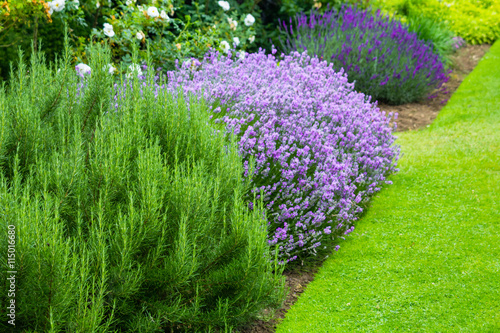 Fotografija Beautiful, summer garden with blooming lavender and various plants