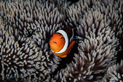 Fotografie, Tablou  Clownfish and Anemone