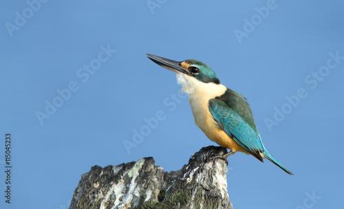 fototapeta na ścianę Sacred Kingfisher perched on a stump with blue sky background and copy space