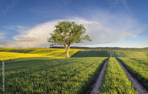 obraz dibond Zielone łany młodego zboża na polu w Niemczech,samotne drzewo na polu
