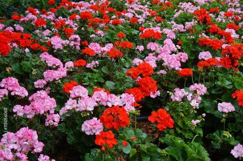 Pink and red geranium (pelargonium) flowers in bloom