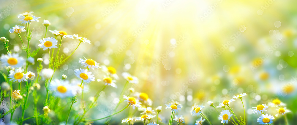 Fototapety, obrazy: Beautiful nature scene with blooming chamomiles in sun flares