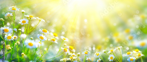 Beautiful nature scene with blooming chamomiles in sun flares Canvas Print