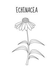 Echinacea Flower Sketch Hand D...