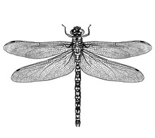 Engraved, Drawn,  Illustration, Insect, Dragonfly, Damselfly, Predator, Water