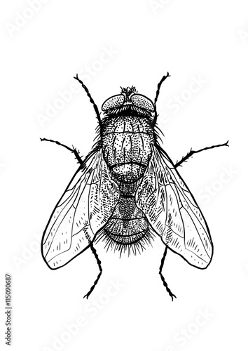 engraved, drawn,  illustration, insect, fly, greenbottle, house fly Canvas