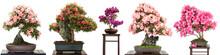 Bonsai Bäume Mit Blüten Als ...