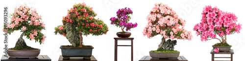 Bonsai Bäume mit Blüten als Panorama