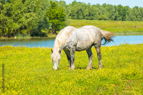 obraz dibond White horse on green field in spring in nature park Lonjsko polje, Croatia