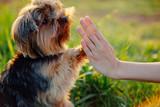 Fototapeta Zwierzęta - Dog gives paw