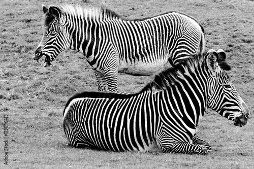 Zebra pair in black and white. Canvas Print