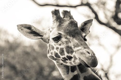 Photo  Giraffe head shot.
