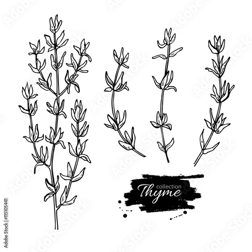 Pinturas sobre lienzo  Thyme vector drawing set. Isolated thyme plant and leaves.