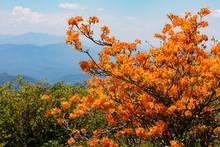 Flame Azaleas