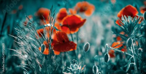 Plakat Niesamowite pole maku. Letnie kwiaty.
