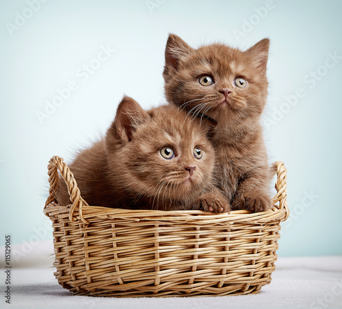 obraz lub plakat Two brown british shorthair kittens