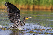 Cormorant With Spread Wings Over Water