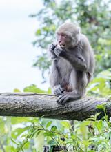 Formosan Macaques Eat Peanut(taiwanese Monkey)