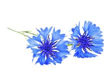 Blue Cornflower - Centaurea On A White Background