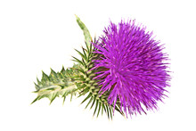 Milk Thistle Plant (Silybum Marianum) Herbal Remedy. Scotch This