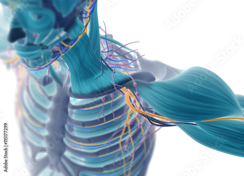 Fotografie, Obraz  Human muscular vascular, lymphatic and nervous system