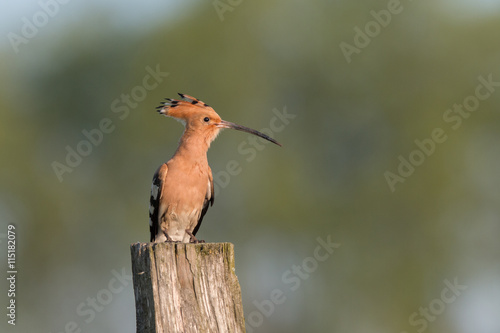 Fotografie, Obraz  Hoopoe in flight (Upupa epops).