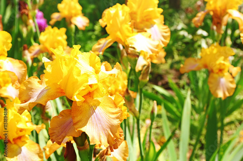 Colorful yellow irises on blurred nature background