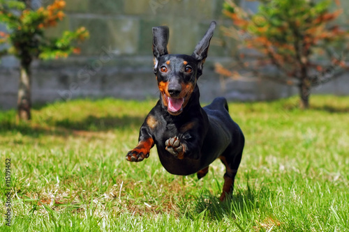 Tablou Canvas happy dog German haired dwarf Dachshund playing in the back yard