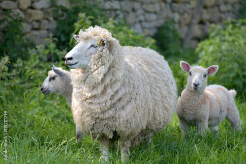 Foto op Aluminium Schapen Sheep and lambs in field near Abbotsbury, Dorset