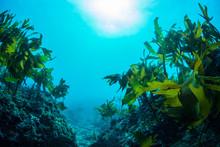 Green Seaweed Dancing In The Sea