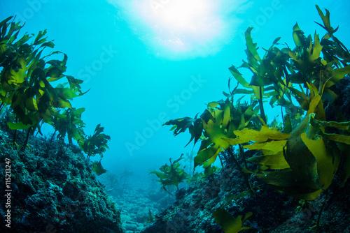 obraz PCV Green Seaweed dancing in the sea