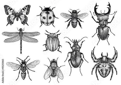 engraved, drawn,  illustration, insects Fototapeta