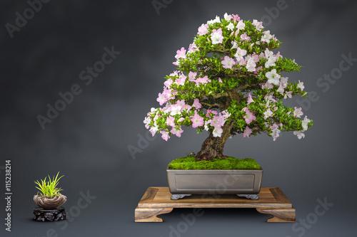 Foto auf Leinwand Bonsai Bonsai alte blühende Japanische Azalee