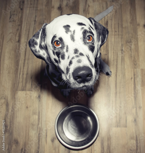Dog is very hungry -- he is sitting next to the bowl - 115251425