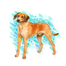 Watercolor Closeup Portrait Of Cute Rhodesian Ridgeback Breed Dog Isolated On Turquoise Background. Smooth Large Hunting Dog Posing At Dog Show. Hand Drawn Home Pet. Greeting Card Design. Clip Art