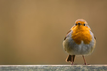 Redbreast Robin With Blurred Background For Copy Space.