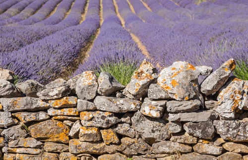 Photo Stands Lavender Mur de lavandes