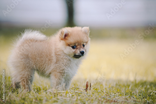 Foto op Plexiglas Leeuw Pomeranian children