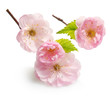 Almond pink flowers isolated