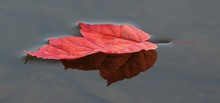 Colorful Red Maple Leaf On The Water