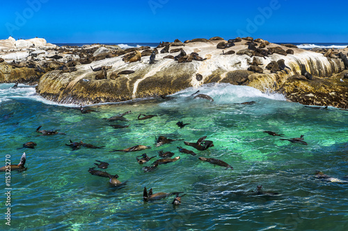 Poster Afrique du Sud Republic of South Africa. Duiker Island (Seal Island) near Hout Bay (Cape Peninsula, Cape Town). Cape fur seal colony (Arctocephalus pusillus, also known as Brown fur seal)