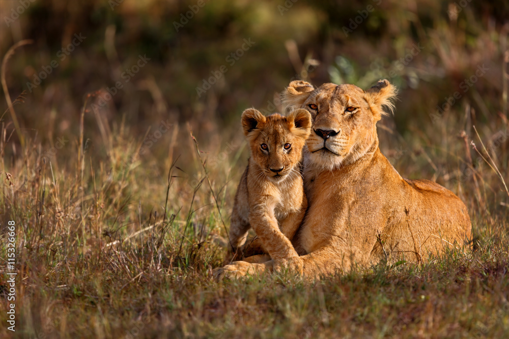 Fototapeta Lion mother of Notches Rongai Pride with cub in Masai Mara, Kenya